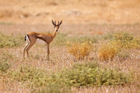 decreased: Mountain gazelle (Gazelle gazelle). The mountain gazelle is the most common gazelle in Israel,residing largely in three areas. Its population decreased greatly throughout its natural range in the first part of the 20th century due to poaching and successf