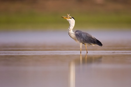 gray: Grey heron (Ardea cinerea) standing in a water pond. This large bird hunts in lakes,rivers and marshes,catching fish or small animals with a darting strike of its head. It is found throughout Africa and Eurasia. Photographed Ein Afek nature reserve,Israel