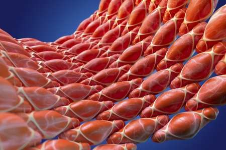 Smooth muscle,illustration