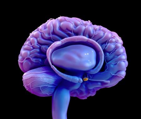 Glándula Pituitaria Del Cerebro, Ilustración Fotos, Retratos ...