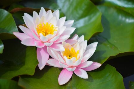 Pink water lily in pond. Two beautiful lotus flower 免版税图像