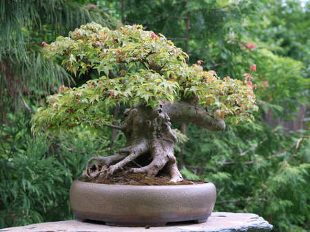 Old bonsai made from full moon maple tree