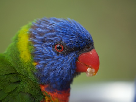 Head of australian rainbow lorikeet parrot photo