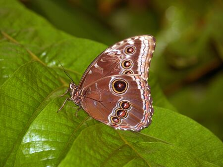 Emperor butterfly sitting on the leaf photo