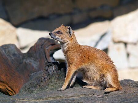 pelage: Yellow mongoose sitting on tree stump