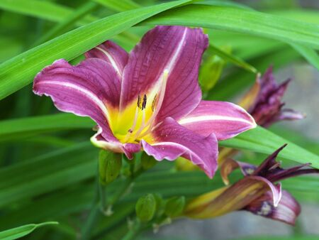 Violet and yellow flower of day lily