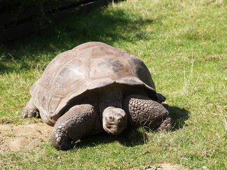 Giant tortoise eating grass in pasture