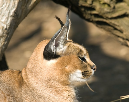 Portrait of deser lynx - Caracal caracal Stock Photo