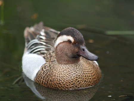 Male of garganey duck on the lake