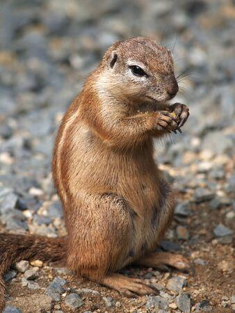xerus inauris: Portrait of earting cape groun squirrel (xerus inauris)
