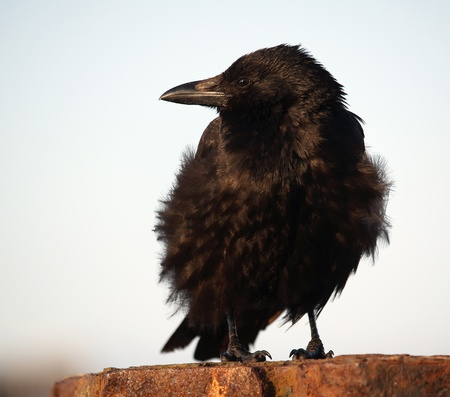 shaggy: Detail of black shaggy raven