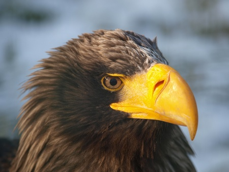 Head of the largest european eagle