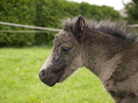 Portrait of newborn pony foal Stock Photo