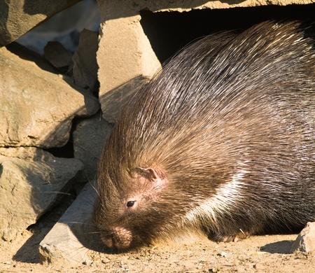 prickling: Indian crested porcupine - Hystrix indica