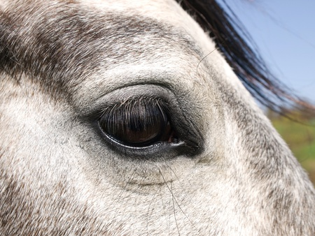 roan: Detail of white horse eye Stock Photo