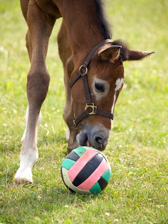 Young foal playing with coloured ball Stock Photo