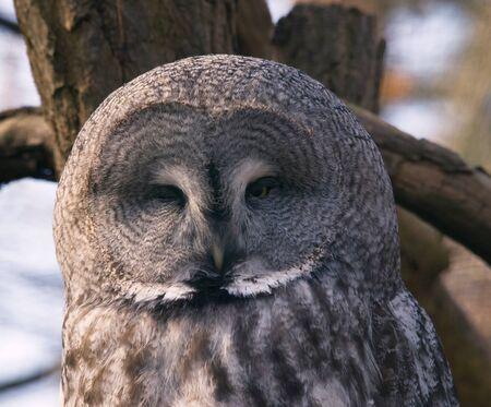Great grey owl - Strix nebulosa Stock Photo - 10140266