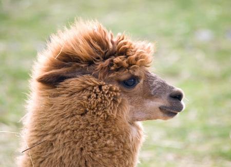 guanicoe: Portrait of domesticated Llama - Lama guanicoe