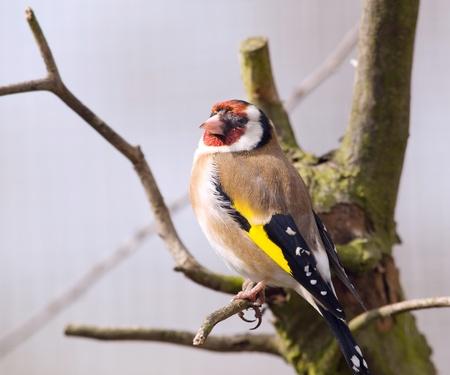 strikingly: Strikingly nice goldfinch - Carduelis carduelis