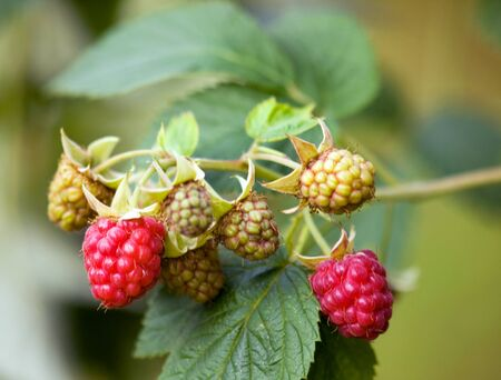 American red raspberry fruits - Rubus idaeus