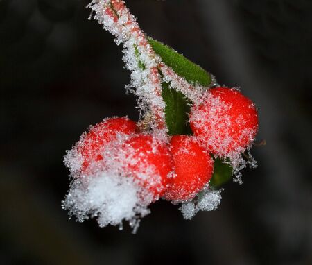 barberry: Hornfrost on barberry - Berberis thunbergii  Stock Photo