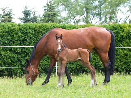 One day old newborn foal with mare on pasture Stock Photo