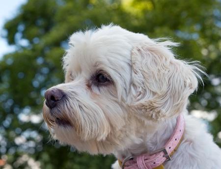 havanese: Head of vigilant havanese dog