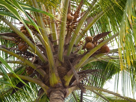 Coconut palm with riped nuts Stock Photo