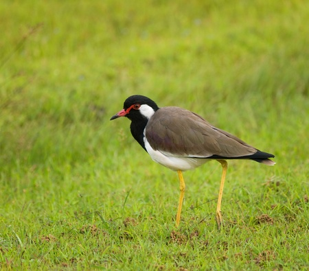 Wild red-wattled lapwing in Sri Lanka Stock Photo - 12814555