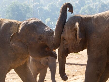 Couple of young asian elephants - Elephas maximus photo
