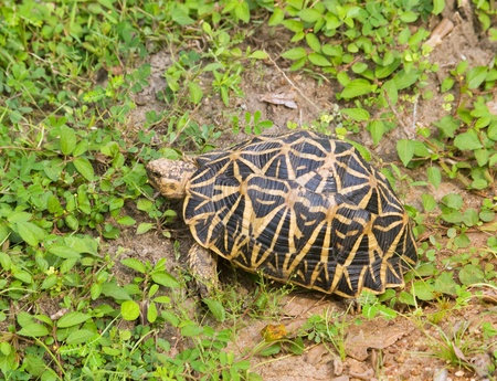 Indian star tortoise - geochelone elegans Stock Photo