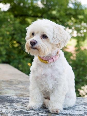 havanese: Portrait of watchful havanese dog