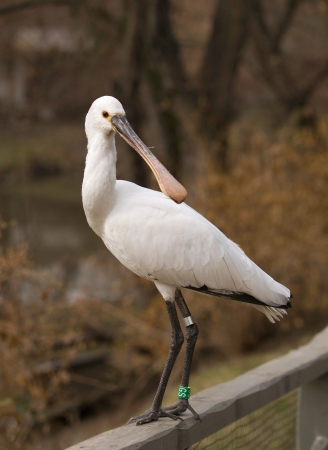 Spoonbill Stock Photos Images Royalty Free Spoonbill Images And