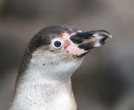 monogamous: Portrait of Humboldt penguin - Spheniscus Humboldti