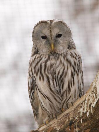 ural owl: Portrait of Ural owl - Strix uralensis