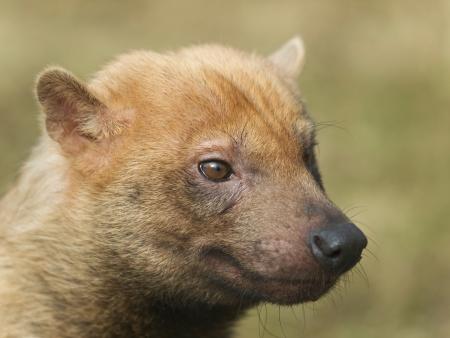 semi aquatic: Portrait of rare canis species - bush-dog