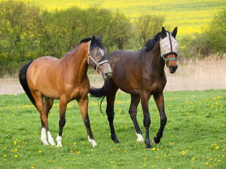Pair of young sport horse on pasture