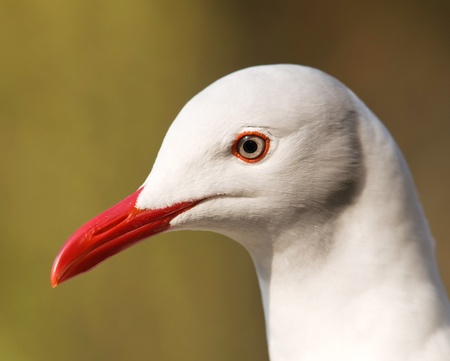 Portrait of grey-headed gull  Chroicocephalus cirrocephalus