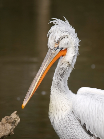 Head of dalmatian pelican - pelecanus crispus photo