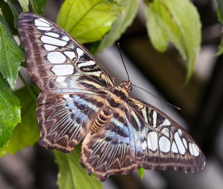 papilio: King Swallowtail - Papilio thoas thoas