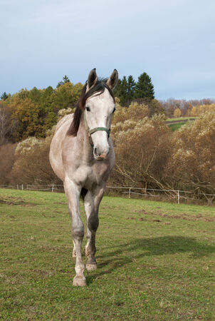 roan: Young roan sport horse on meadow Stock Photo