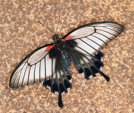 swallowtail: Swallowtail butterfly - Papilio anchisiades Stock Photo