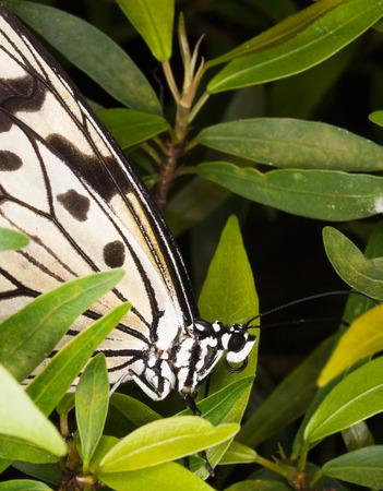 wood nymph: Wood nymph butterfly - Idea leuconoe