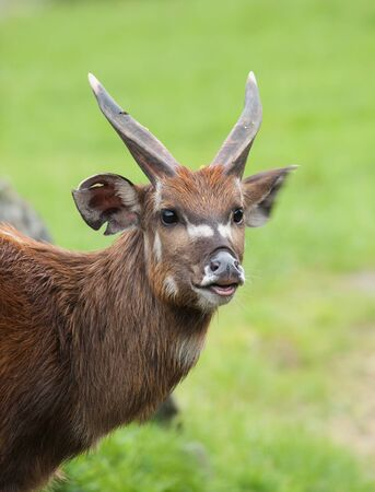 Male of Marshbuck - Tragelaphus spekii Stock Photo