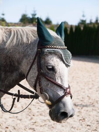 bridle: White sport pony with bridle