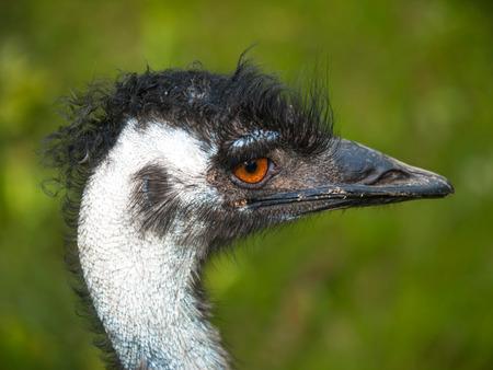 emu: Retrato de la UEM - Dromaius Novaehollandiae