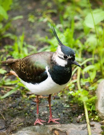 waterbird: Vanellus vanellus - green plover lapwing