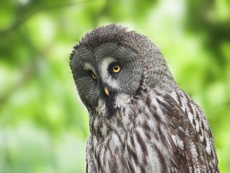 ural owl: Ural owl - Strix uralensis liturata Stock Photo