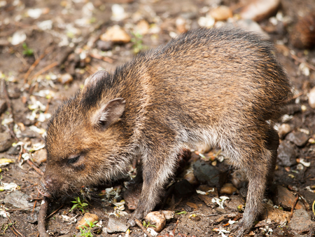 Baby of Collared peccary - Pecari tajacu