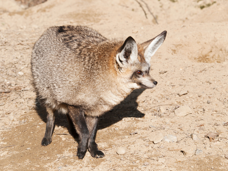 monogamous: Portrait of bat-eared foc (Otocyon megalotis) Stock Photo